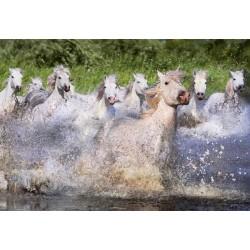 Beli konji Camargue (1000...